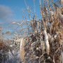 Ornamental Grass in Winter