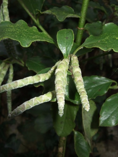 Garrya elliptica 'James Roof' (Garrya elliptica (Silk-tassel bush))
