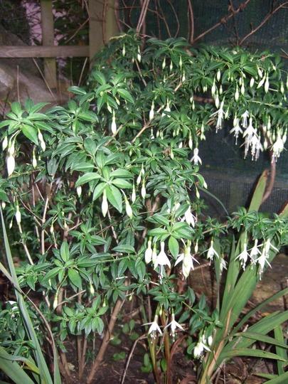 Fuchsia 'Hawkshead' (Fuchsia magellanica (Hardy fuchsia))