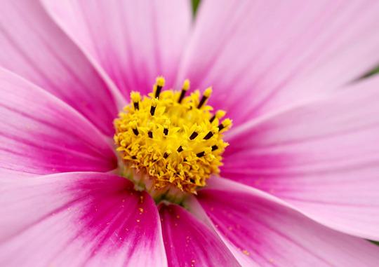 pink cosmos (Cosmos bipinnatus (Cosmos).)