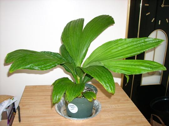 Caludovica palmata 'Jungle Dawn' - Panama Hat Plant 'Jungle Dawn' (Caludovica palmata 'Jungle Dawn' - Panama Hat Plant 'Jungle Dawn')