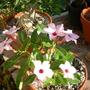 Adenium obesum 'Ice Pink'  - Desert Rose (Adenium obesum 'Ice Pink'  - Desert Rose)