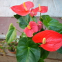 Anthurium andreanum 'Oklahoma' - Flamingo Flower (Anthurium andreanum 'Oklahoma' - Flamingo Flower)