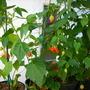 Abutilon 'Tangerine' (Abutilon 'Tangerine')