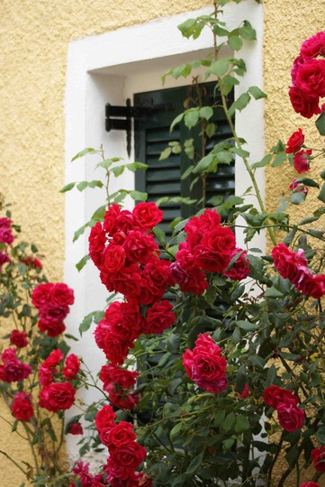 Roses_in_Corfu_-_Greece_May_08.jpg