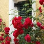 Roses_in_corfu_greece_may_08