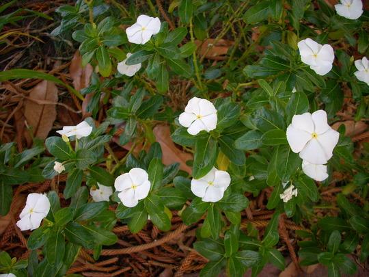 Catharanthus roseus - Vinca/Madagascan Periwinkle (Catharanthus roseus - Vinca/Madagascan Periwinkle)