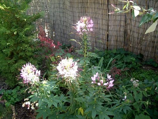 IMGP4266.jpg (Cleome hassleriana (Spider flower))