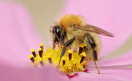 bee on the cosmos (cosmos)