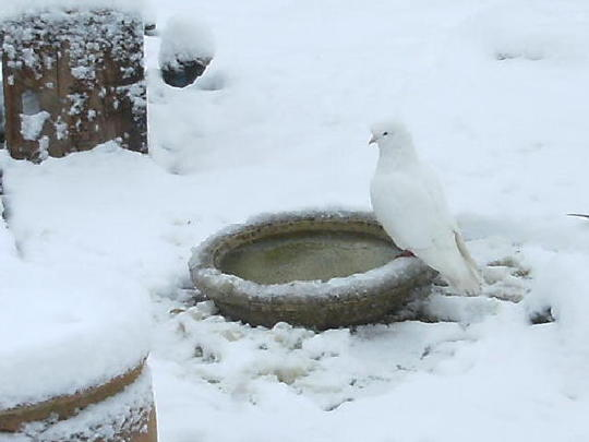 Snowball ( Fantailed dove ) Well camouflaged