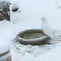 Snowball_well_camouflaged