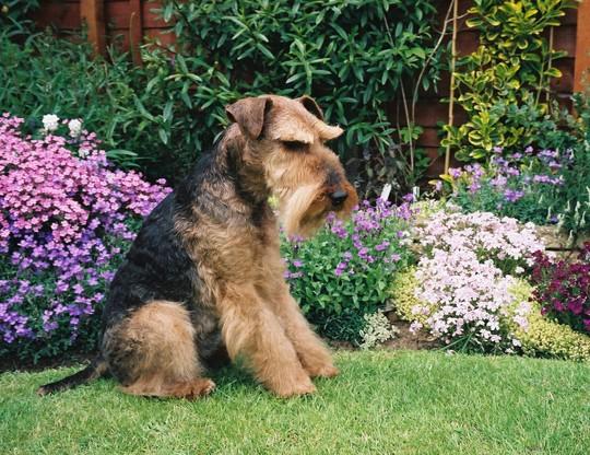 Bonsai  ~ my wonderful Welsh Terrier   ~  26 October 1995 ~ 21 November 2008