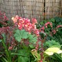 IMGP4267.jpg (Atriplex hortensis (Red orache))
