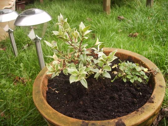 Variegated Myrtle 11.08 (Myrtus communis variegata)