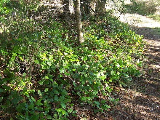 forest groundcover (Gaultheria shallon (Salal))