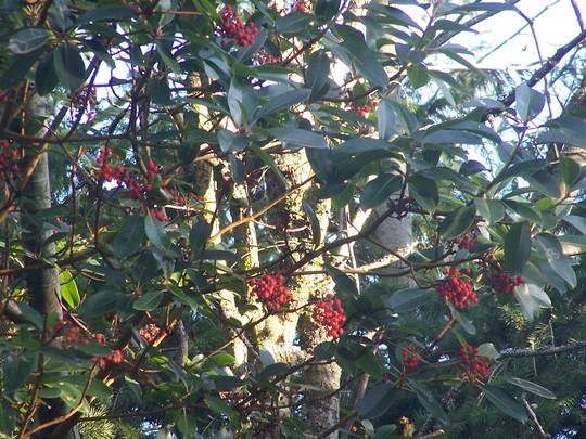 Madrona berries (madrona)