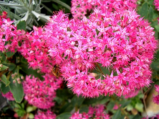 IMGP4347.jpg (Sedum spectabile (Ice plant))