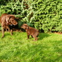 My two chocolate labs in the garden