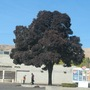 Tree_at_dairy_queen_039