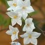 solonum jasminoides  (Solanum jasminoides (Potato Vine))