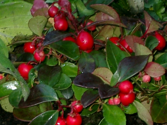 Wintergreen Gaultheria (Wintergreen ....Gaultheria)
