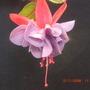 Fuchsia_blooms_004