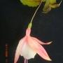 Fuchsia_blooms_009