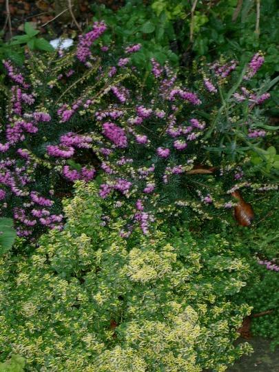 Winter flowering heather and golden Thyme (Calluna vulgaris (Heather))