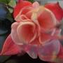 Fuchsia_blooms_018