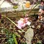 Daphne Blossom 11.08 (Daphne mezereum)