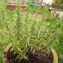 Rosemary 11.08 (Rosmarinus officinalis)