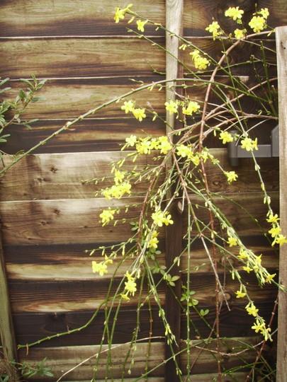 Winter Jasmine in flower 11.08 (Jasminum nudiflorum)