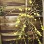 Winter Jasmine in flower 11.08 (Jasminum nudiflorum)
