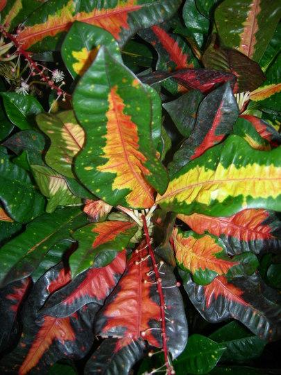 (Help, I can't remember the name. Is this Croton?) Royal Botanic Garden, Edinburgh.