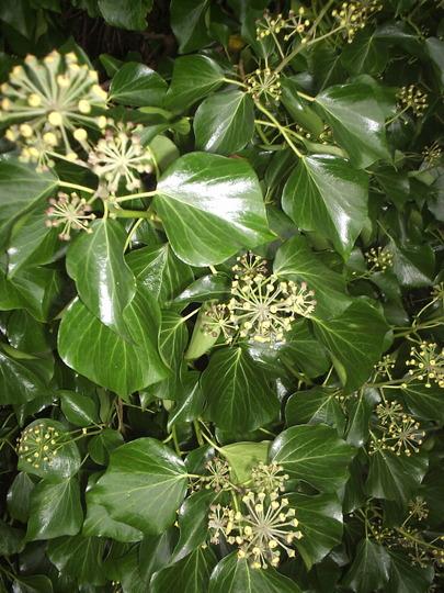 Ivy Blossom