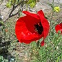 Papaver_somniferum_00010a