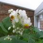 sparmannia flower (sparmannia africana)