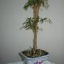 P8120003.jpg (Ficus benjamina (Weeping fig))