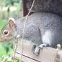 Redhead_the_squirrel