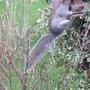 Flying headless squirrel