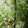 Orange and red among the green. Grape tomatoes.