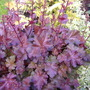 heuchera chocolate ruffles (Heuchera micrantha chocolate ruffles)