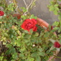 The red rose, blooming after a bout with mites.  (Rosa)