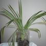 P8120008.jpg (hlorophytum comosum)