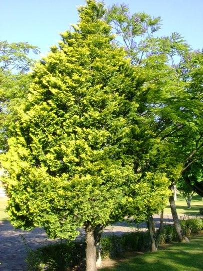 Cipreste Dourado - golden cypress (Chamaecyparis obtusa cripssii)