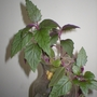 P8120012.jpg (Gynura Sarmentosa)