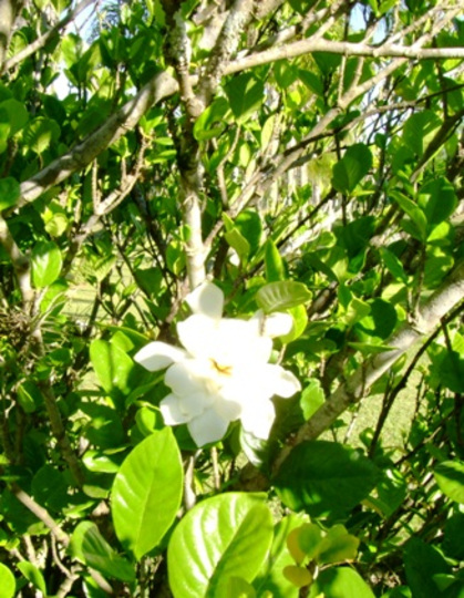 Gardenias (Gardenia jasminoides (Cape jasmine))