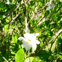 Gardenias (Gardenia jasminoides (Cape jasmine))