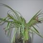 P8120018.jpg (Chlorophytum Comosum Vittatum)