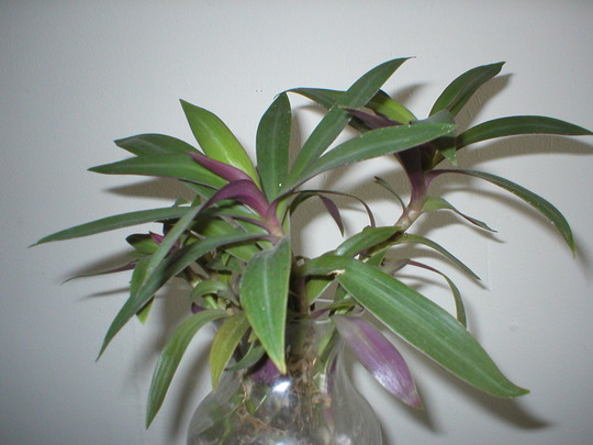 Moses in the Boat (Tradescantia spathacea)
